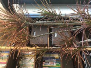 仕事運・財運を上げ、幸せを呼ぶ風水観葉植物① ドラセナ