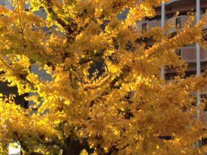 出張の朝。オフィスの窓から。朝日に輝く黄金色の銀杏。いいことありそう。