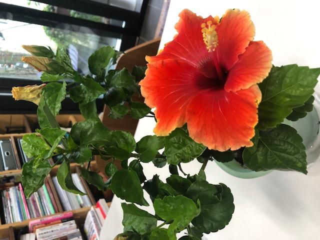 """<span class=""""title"""">ハイビスカス、たった一日で咲き終える花の花言葉は「新しい恋」</span>"""